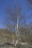 Árbol de abedul de plata Imagenes de archivo