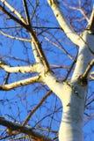 Árbol de abedul de plata contra el cielo azul Imagen de archivo libre de regalías