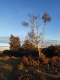 Árbol de abedul de plata iluminado por el sol Imagenes de archivo