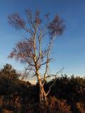 Árbol de abedul de plata iluminado por el sol Foto de archivo libre de regalías