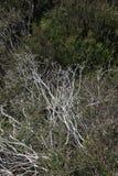 Árbol de abedul de plata rodeado por los arbustos quemados Fotos de archivo libres de regalías