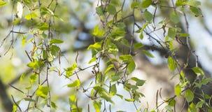 Árbol de abedul del flor en día de primavera Foto de archivo libre de regalías