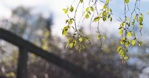 Árbol de abedul del flor en día de primavera Fotos de archivo libres de regalías