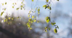Árbol de abedul del flor en día de primavera Imagen de archivo libre de regalías