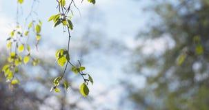 Árbol de abedul del flor en día de primavera Imágenes de archivo libres de regalías