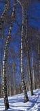 Árbol de abedul del invierno Imagen de archivo libre de regalías