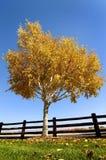Árbol de abedul del otoño Fotografía de archivo