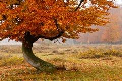 Árbol de abedul del otoño Foto de archivo