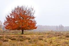 Árbol de abedul del otoño Imágenes de archivo libres de regalías