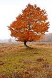 Árbol de abedul del otoño Imagenes de archivo