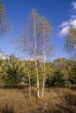Árbol de abedul del otoño Fotografía de archivo libre de regalías