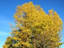 Árbol de abedul del otoño de Thornhill 2016 Foto de archivo