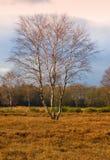 Árbol de abedul del otoño, Países Bajos Fotos de archivo libres de regalías