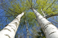 Árbol de abedul del tiempo de primavera con las hojas frescas Foto de archivo libre de regalías