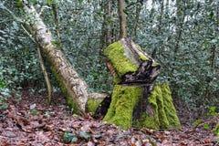 Árbol de abedul derribado Imagen de archivo libre de regalías