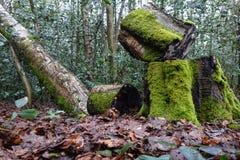 Árbol de abedul derribado Foto de archivo libre de regalías