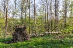 Árbol de abedul desarraigado Imagen de archivo