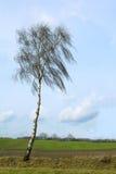 Árbol de abedul desnudo delante de campos anchos contra un cielo azul Fotos de archivo libres de regalías