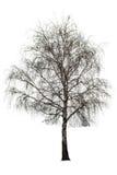 Árbol de abedul desnudo en blanco Foto de archivo libre de regalías