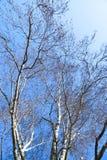 árbol de abedul desnudo en invierno Fotografía de archivo