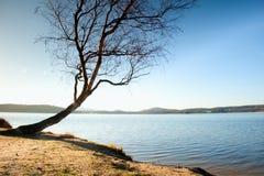 Árbol de abedul doblado solo en la playa del mar, branche vacío s sin las hojas Imagen de archivo libre de regalías