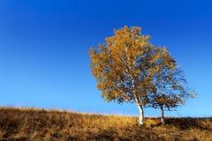 Árbol de abedul dos en otoño Imágenes de archivo libres de regalías