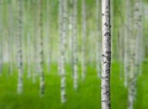 Árbol de abedul en bosque Imagenes de archivo
