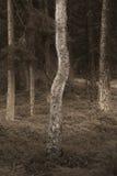 Árbol de abedul en bosque fantasmagórico Foto de archivo libre de regalías