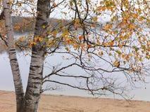 Árbol de abedul en caída Fotos de archivo libres de regalías