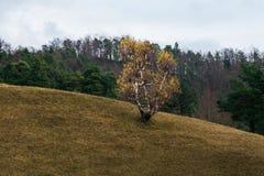 Árbol de abedul en caída Fotos de archivo