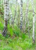 Árbol de abedul en campo Imagen de archivo libre de regalías