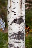 Árbol de abedul en cierre encima de la visión Imagen de archivo libre de regalías