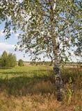 Árbol de abedul en el borde del campo Foto de archivo