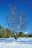 Árbol de abedul en el bosque del invierno Imágenes de archivo libres de regalías