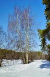 Árbol de abedul en el bosque del invierno Imagen de archivo libre de regalías