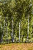 Árbol de abedul en el bosque polaco Fotos de archivo