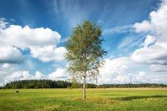 Árbol de abedul en el campo Imagen de archivo libre de regalías