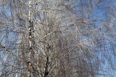 Árbol de abedul en el cielo azul Imagen de archivo