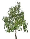 Árbol de abedul en el fondo blanco Fotos de archivo libres de regalías