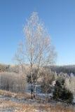 Árbol de abedul en el invierno Foto de archivo libre de regalías