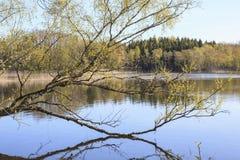 Árbol de abedul en el lago Fotografía de archivo
