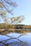 Árbol de abedul en el lago Imagenes de archivo