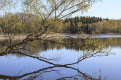 Árbol de abedul en el lago en primavera Imágenes de archivo libres de regalías
