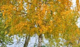 Árbol de abedul en el otoño Fotos de archivo