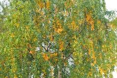 Árbol de abedul en el otoño Imagenes de archivo