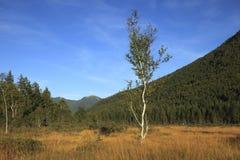 Árbol de abedul en el otoño Fotografía de archivo