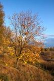 Árbol de abedul en el otoño Imagen de archivo