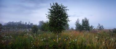 Árbol de abedul en el prado en la niebla con la luz del sol Rusia Imagen de archivo