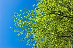 Árbol de abedul en el resorte Foto de archivo libre de regalías
