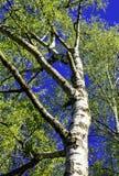 Árbol de abedul en el sol Foto de archivo libre de regalías